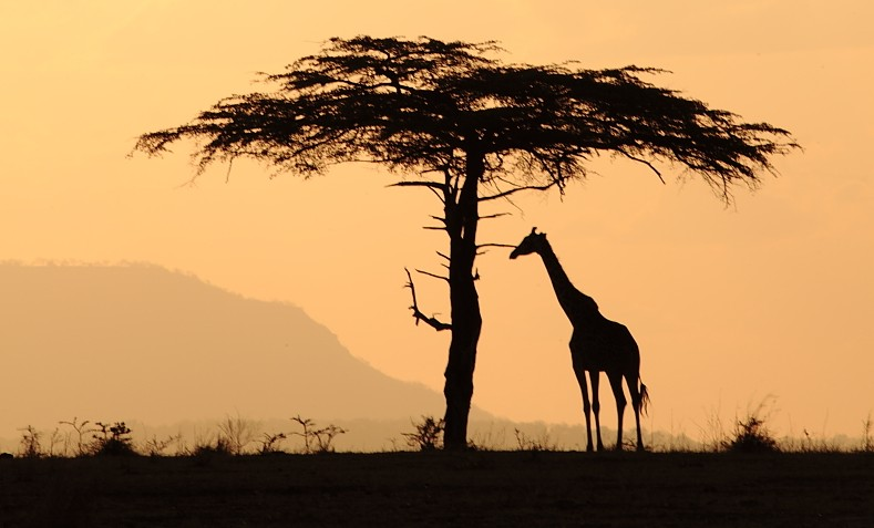 Selous giraffe