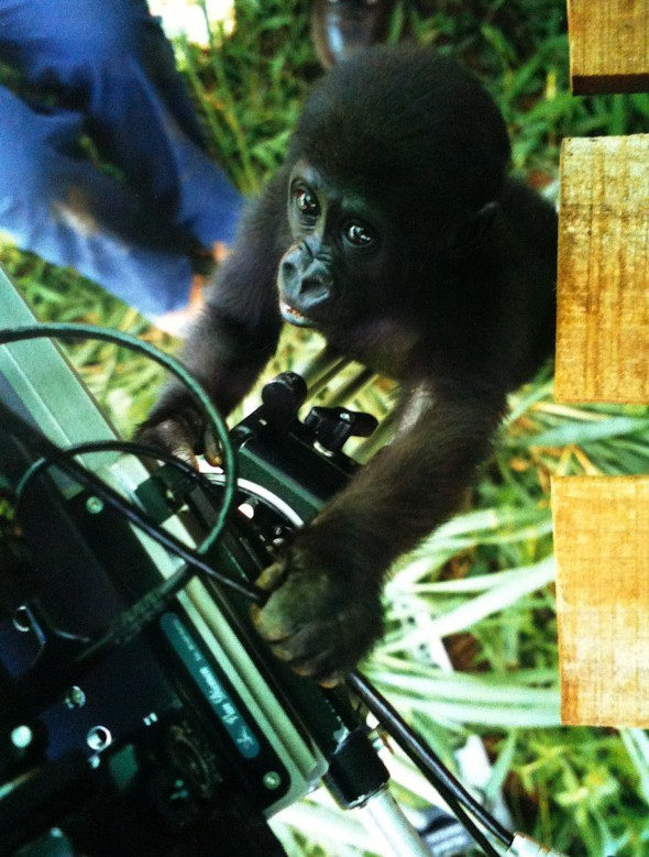 Gorilla orphan in Yaounde, Cameroon. Tigress Productions 1999