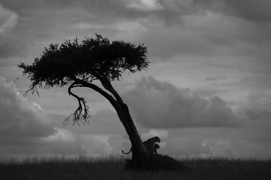 Rhino ridge favourite tree, Masai Mara Kenya