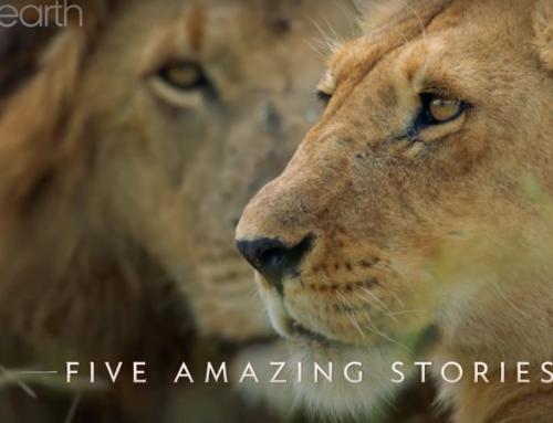 Dynasties, Lions. BBC.